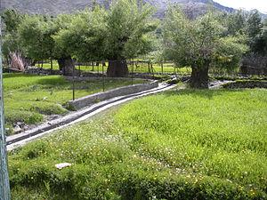 Sankoo - A lush green barley field at kausar, Sankoo