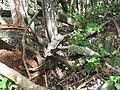 Sansevieria kirkii in the jungle (5329643439).jpg