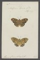 Satyrus - Print - Iconographia Zoologica - Special Collections University of Amsterdam - UBAINV0274 049 06 0021.tif