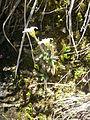 Saxifraga androsacea 02.JPG