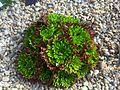 Saxifragales - Saxifraga fragilis subsp. valentina.jpg
