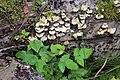 Schiermonnikoog - Scherpe schelpzwam (Panellus stipticus).jpg