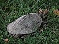 Schildkröte mit Verletzungen am Rückenpanzer.JPG