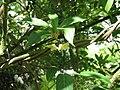 Schisandra chinensis (18127987246).jpg