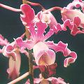 Schomburgkia-undulata.jpg