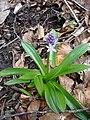 Scilla lilio-hyacinthus.jpg