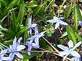Scilla siberica 'Spring beauty' (Hyacinthaceae).jpg