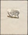 Sciurus capistratus - 1700-1880 - Print - Iconographia Zoologica - Special Collections University of Amsterdam - UBA01 IZ20400055.tif