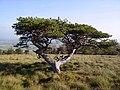 Scots Pine - geograph.org.uk - 652320.jpg