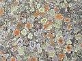 Scottish lichens - geograph.org.uk - 544916.jpg