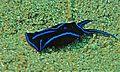 Sea Slug (Chelidonura varians) (6052812091).jpg