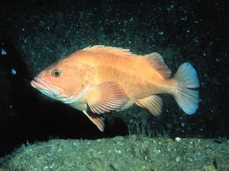 Yelloweye rockfish - Typical adult