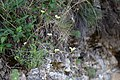 Sedum ochroleucum-1032 - Flickr - Ragnhild & Neil Crawford.jpg