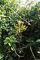 Senecio angulatus kz7.jpg