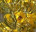 Senna artemisioides 2.jpg