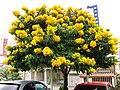 Senna macranthera - Sao Paulo 4.jpg