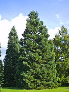 Sequoiadendron giganteum Marburg 001.jpg
