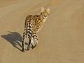 Serval (Leptailurus serval) (14034610345).jpg