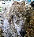 Shaggy sheep (121696463).jpg