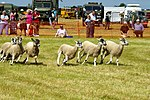 Sheep Dog Display (2621812498).jpg
