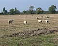 Sheep and farmland near Bottesford - geograph.org.uk - 1012954.jpg