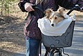 Shetland sheepdog in a bicycle basket.jpg