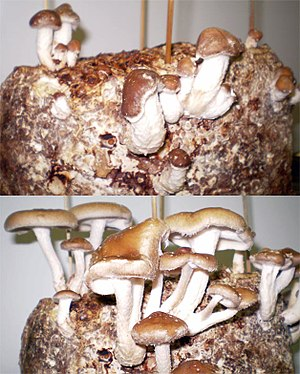 Fungiculture - Home cultivated shiitake developing over approximately 24 hours.