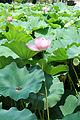Shinobazu Pond - Sarah Stierch - August 2013 01.jpg