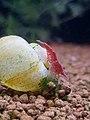 Shrimp - Red Cherry.jpg