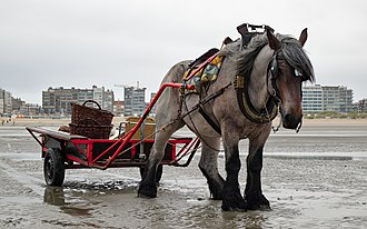 Belgian horse - Belgian horse carrying shrimping gear in Oostduinkerke