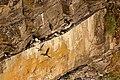 Sillgrissla- guillemot-1 - Flickr - Ragnhild & Neil Crawford.jpg