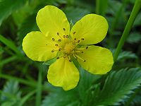 Silverweed flower 800.jpg
