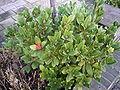 SkimmiaJaponica-berries.jpg