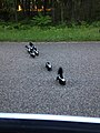 Skunk Family (27860482585).jpg