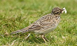 Skylark 1, Lake District, England - June 2009.jpg