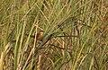 Slender-billed Babbler. AMSM1298.jpg
