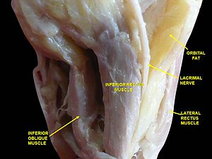Inferior oblique muscle