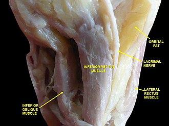 Inferior oblique muscle - Image: Slide 9abab