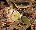 Small Orange-Tip , Colotis etrida- Female at Chilkur near Hyderabad, AP W IMG 7268.jpg