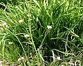 Small white spring flowers.jpg