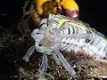 Snake sea cucumber (Synapta maculata) (37988340952).jpg