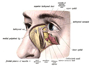 Lacrimal sac - The lacrimal sac has been opened showing internal organization as well as the naso-lacrymal duct.