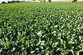 Sockerbetsfält.JPG