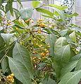 Solanum argentinum Solanum chroniotrichum BotGardBln271207B.jpg