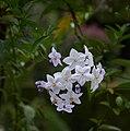 Solanum laxum A.jpg