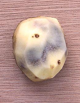 blauwe plekken aardappel