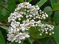 Sorbus americana 7 (5098095936).jpg