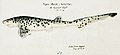Southern Pacific fishes illustrations by F.E. Clarke 50.jpg