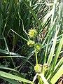 Sparganium erectum subsp. neglectum sl3.jpg