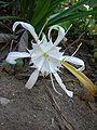 Spider lily.jpg
